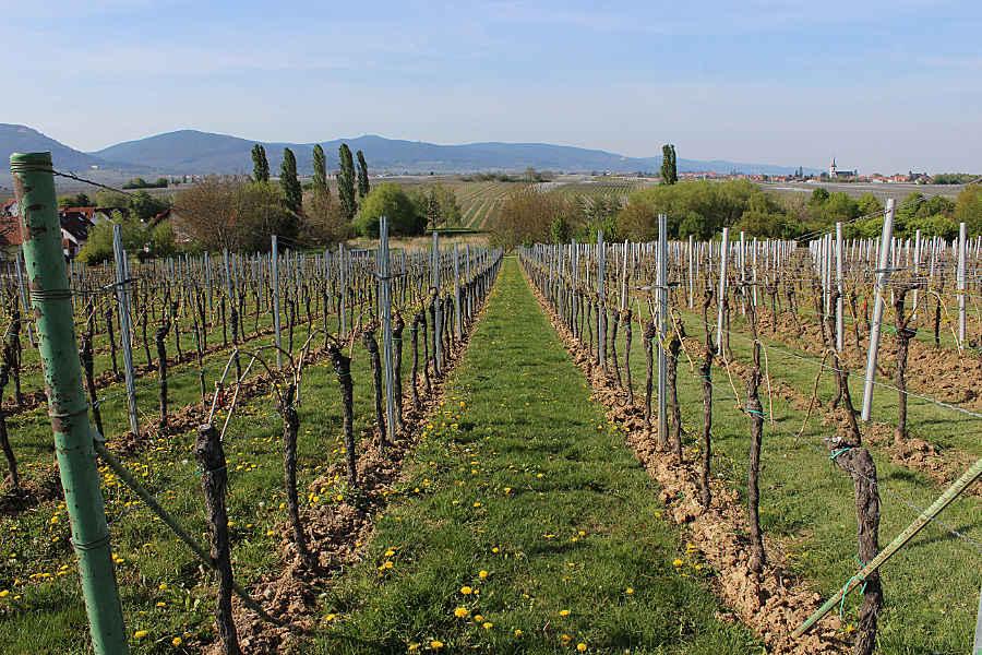 Ein Weinberg der Rebsorte Merlot im April.