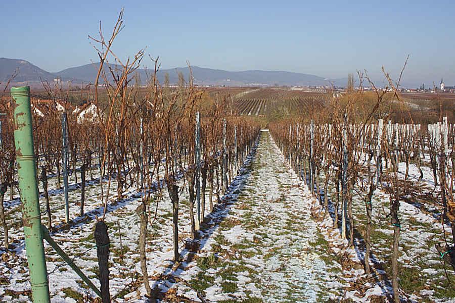 Ein Weinberg der Rebsorte Merlot im Januar.