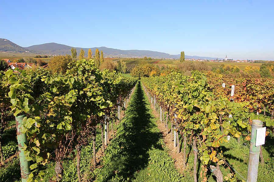 Ein Weinberg der Rebsorte Merlot im Oktober nach der Weinlese
