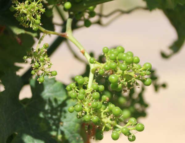 Aus den Gescheinen wachsen einzelne Beeren heran.