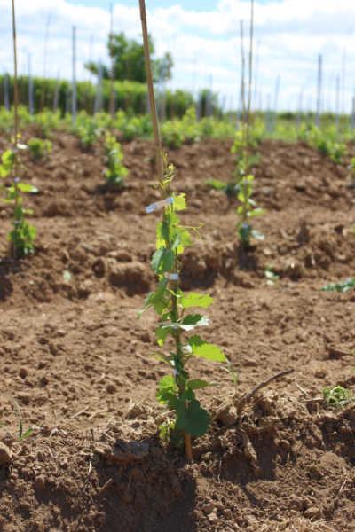 Junge Weinreben die als Rebschul-Pfropfreben gepflanzt wurden.