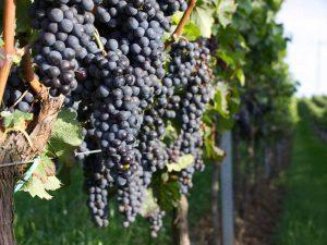 Rote Weintrauben in einem Weingarten