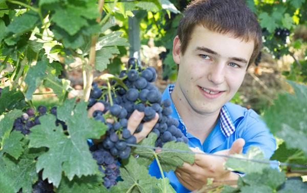 Weintrauben benötigen viel Pflege