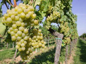 Für gute WEine: weiße Weintrauben in einem Weingarten