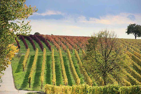 Der Herbst färbt die Roschbacher Weinberge