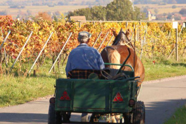 Ein Winzer fährt mit seinem Pferdewagen durch Weinberge.