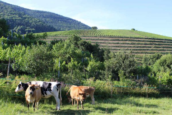 Weinberge und Kühe nahe der Burrweiler Mühle.
