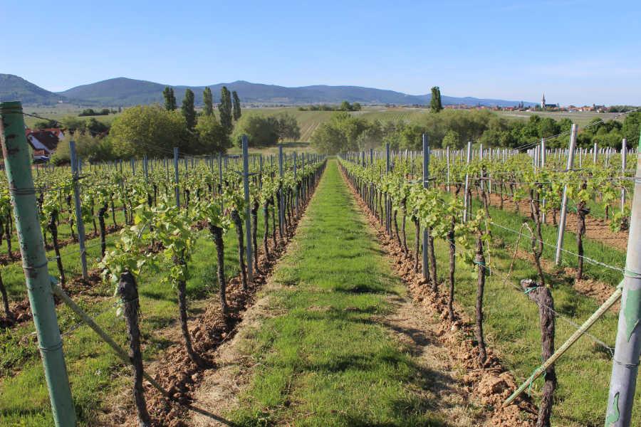 Ein Weinberg der Rebsorte Merlot im Monat Mai