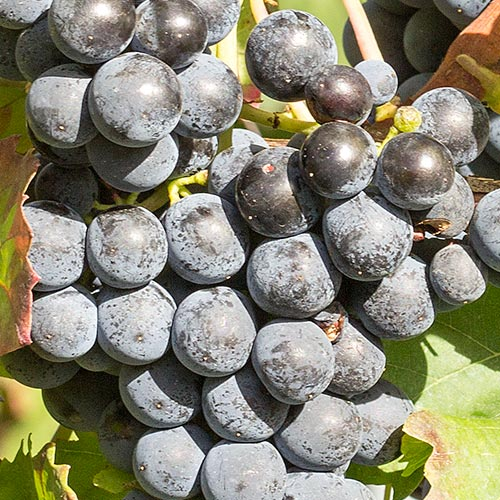 Reife Weintrauben der Rebsorte Dornfelder an einem Rebstock.