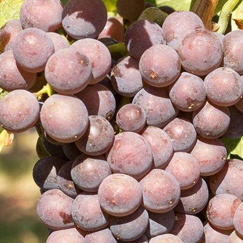 Reife Weintrauben der Rebsorte Grauer Burgunder an einem Rebstock.