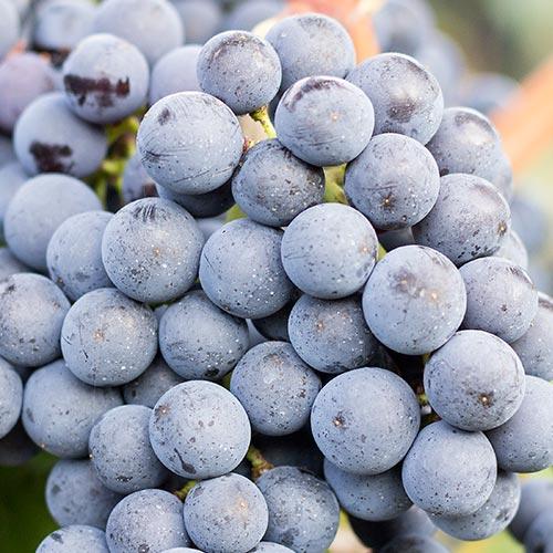 Reife Weintrauben der Rebsorte Merlot an einem Rebstock.