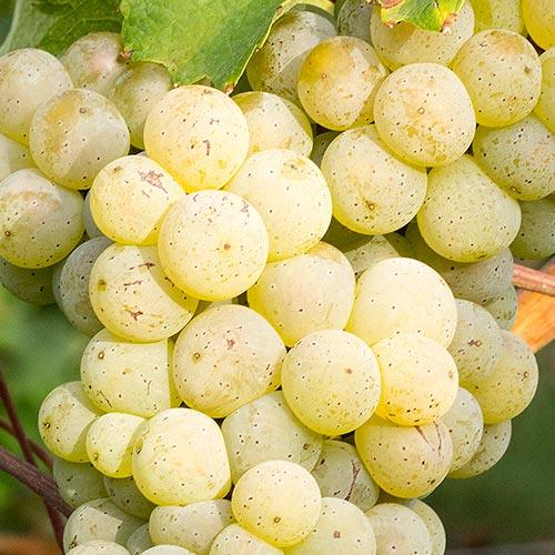 Reife Weintrauben der Rebsorte Riesling an einem Rebstock.