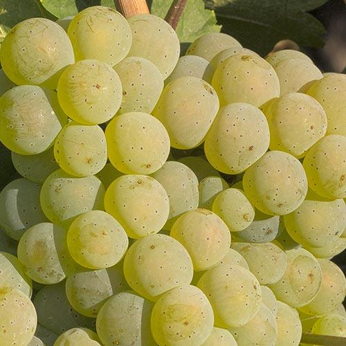 Reife Weintrauben der Rebsorte Silvaner an einem Rebstock.