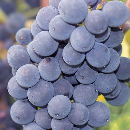 Reife Weintrauben der Rebsorte Spätburgunder an einem Rebstock.